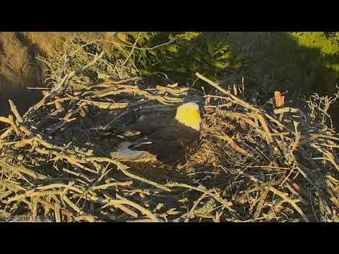 Sauces Bald Eagles - Channel Islands Cam 02-20-2018 16:51:09 - 17:51:10