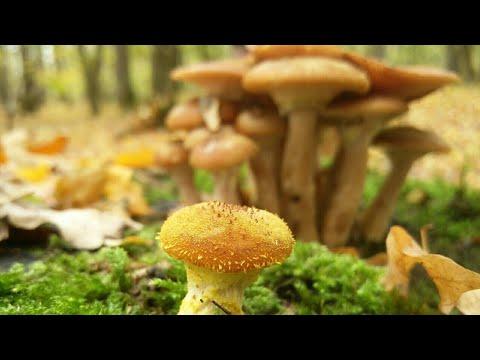 ciuperci opintici)