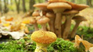 Ghebe gomba. Ciuperca în Maghiară - Română-Maghiară Dicţionar - Glosbe