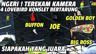 NGERI ! TEREKAM KAMERA 4 LOVEBIRD KONSLET BERTARUNG, GOLDEN BOY, JOE, BIG BOSS DAN BUFFON.