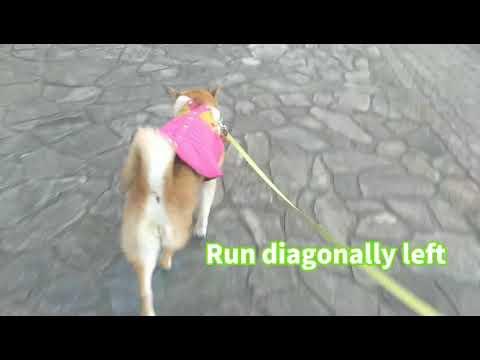 #柴犬#コート#欽ちゃん走り#shibaInu#Kin-chan#run パツンパツンコートで、欽ちゃん走りしました❗️