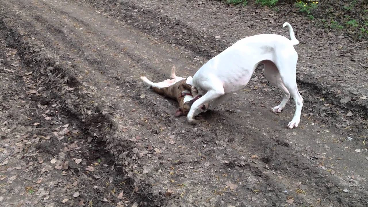 Dogo argentino vs. Minibull (Poor bully) - YouTube