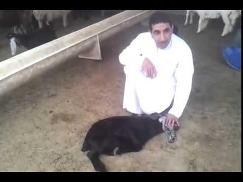 طريقة الذبح الاسلامية الصحيحة Youtube