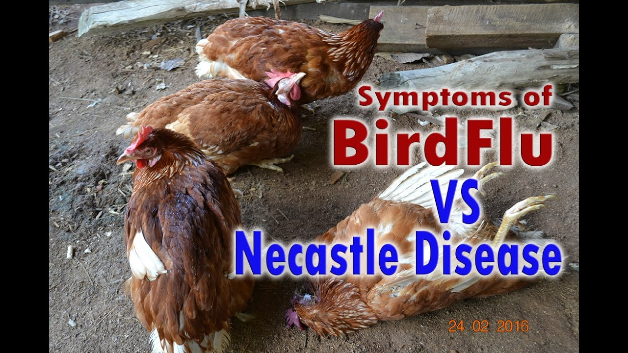 Bird Flu H5N1, Avian Flu vs Newcastle Disease Symptoms, POULTRY DISEASES