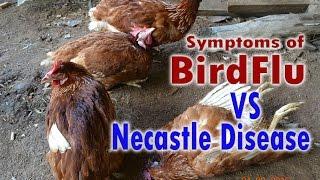 bird flu h5n1 avian flu vs newcastle disease symptoms poultry diseases