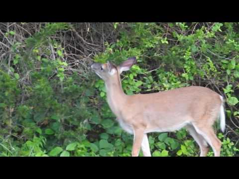 Deer about 75 yards away. P900 with no tripod.