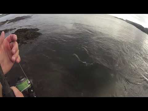 The Fall Run Is Here. Catching Rhode Island Striped Bass 2 Feet Away From Me