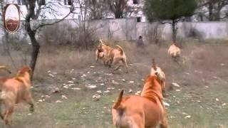 Triumf Epira - Dogo Canario - щенки канарского дога