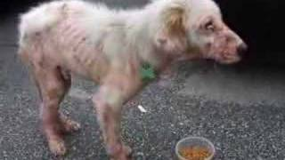 White Dog Neglected By Irresponsible Owner