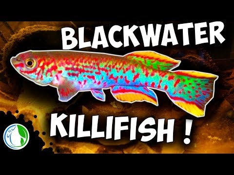 BLACKWATER GARDNERI KILLIFISH AQUARIUM SETUP (P82)