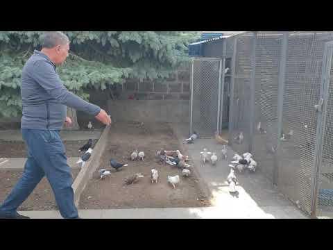 Армянские чистопародные бойные голуби