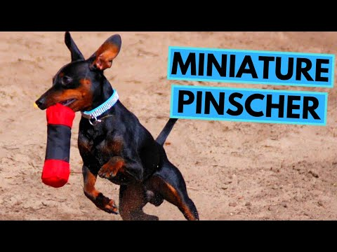 Miniature Pinscher Dog Breed - Facts And Information