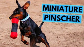 Miniature Pinscher Dog Breed  Facts and Information