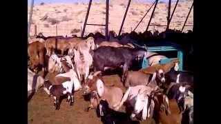 Kornmehl Goat farm in Negev Desert, Israel