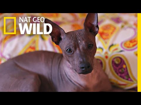 This Ugly-Cute Hairless Dog Has a Surprising History | Nat Geo Wild