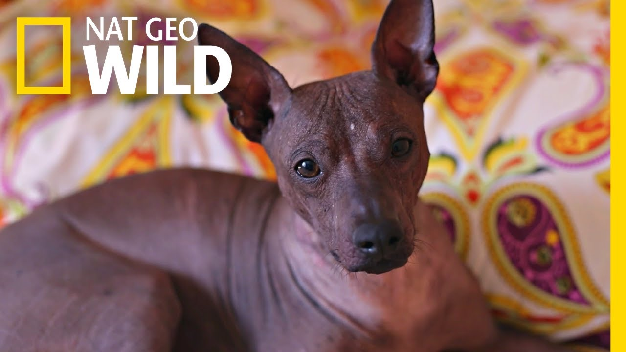 This Ugly Cute Hairless Dog Has A Surprising History Nat Geo Wild