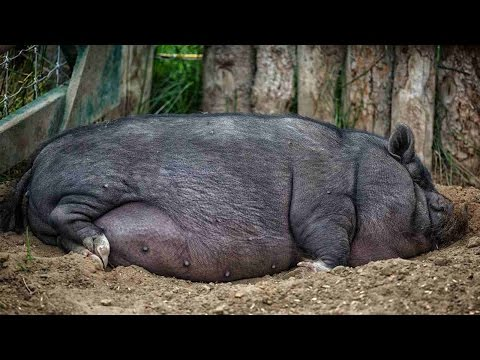 How to Trim Your Potbellied Pig's Hooves | Pet Pigs
