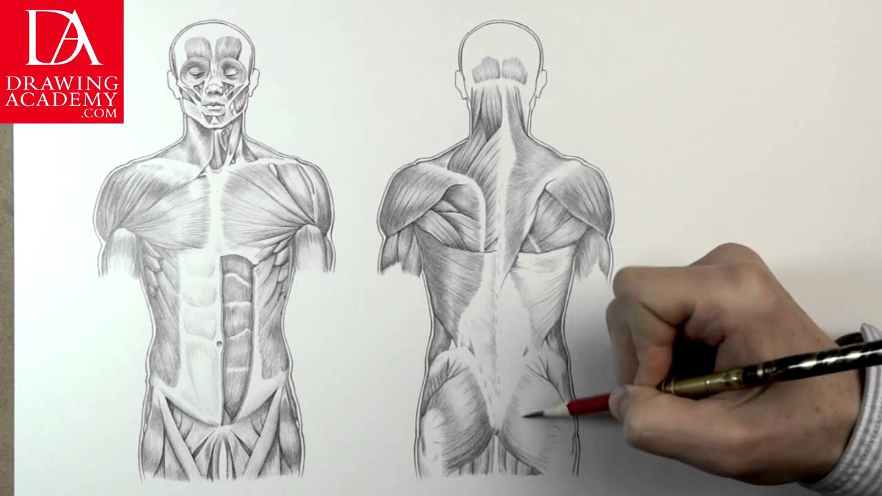 Muscles In Human Body Presented By Drawing Academy 31 2 Youtube
