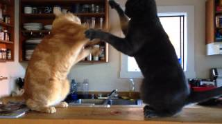 Adorable kitten slap fight