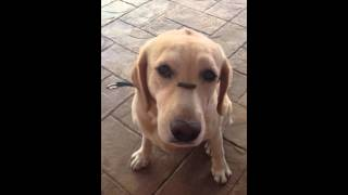 My Labrador Retriever - Ginger - Demonstrates Her Trick Of The Day!