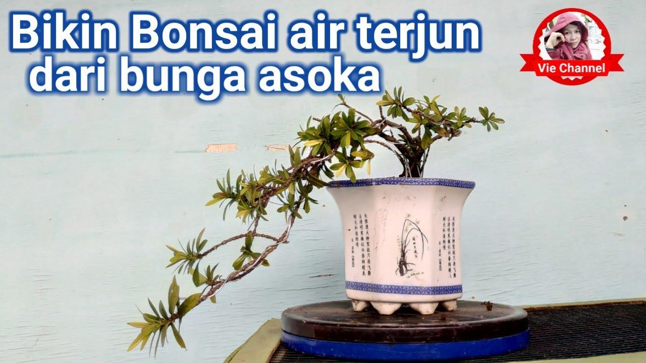 Membentuk Bonsai Bunga Asoka Youtube