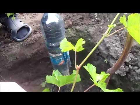 виноград Агата   Донская два месяца