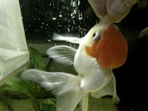 Sfamando pesci rossi in modo particolare youtube for Dove comprare pesci rossi