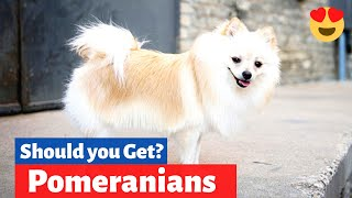Pomeranian: Is this Dog Breed a Good choice for you and your Family?