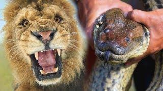 कौन जीतेगा महाकाल एनाकोंडा और शेर की लड़ाई में? Giant Anaconda Vs Lion - Who Would Win?