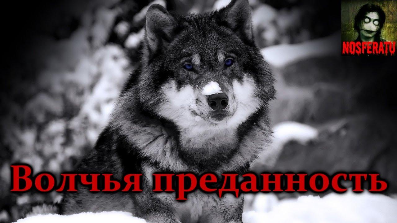 Стих о волчьей преданности
