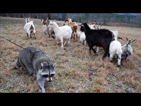 Pet Raccoon Meets Baby Pygmy Goats!