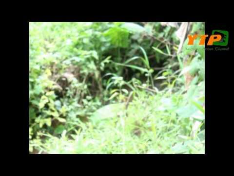 ยูงทอง Action Channel ตอน เลียงอิลาน คืบคลานปะทะปูหิน