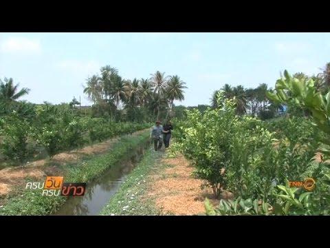 เกษตรกรบางขุนเทียนปลูกส้มบางมดสู้น้ำเค็ม