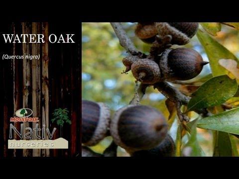 Water Oak Quercus Nigra You