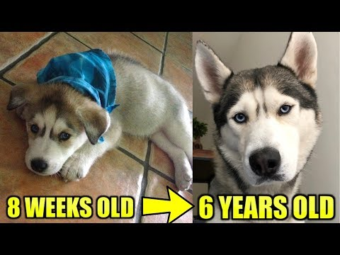 WATCH MY HUSKY PUPPY GROW / 8 WEEKS TO 6 YEARS OLD