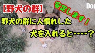 野犬家庭化トレーニングの中で安定した犬との交流は人慣れの近道なんで...