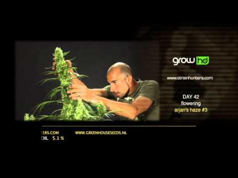 Arjan's Haze #3 - Green House Grow Sessions