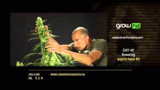 Arjan's Haze #3 - Green House Grow Sessions
