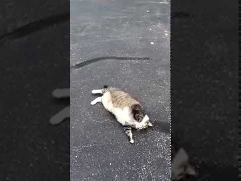Fat cat attempts to roll over
