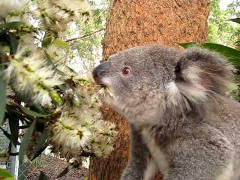 картинки коалы цветы