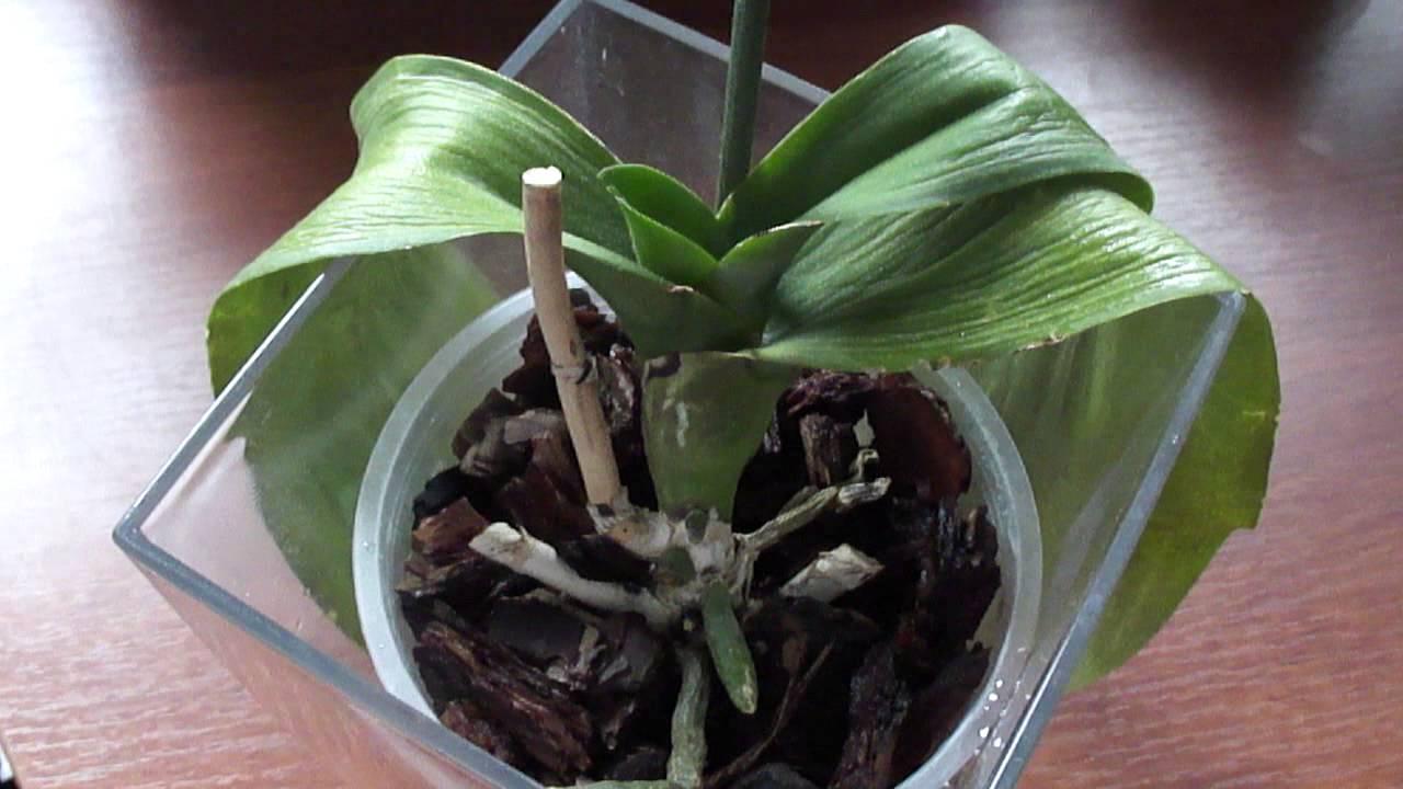 Что делать с боковыми листьями орхидеи 74