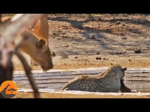 Lions Stalk A Leopard Busy Killing An Impala