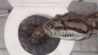 9ft Python Stuck In Toilet! EP. 1 : Animals In The News : SnakeBytesTV