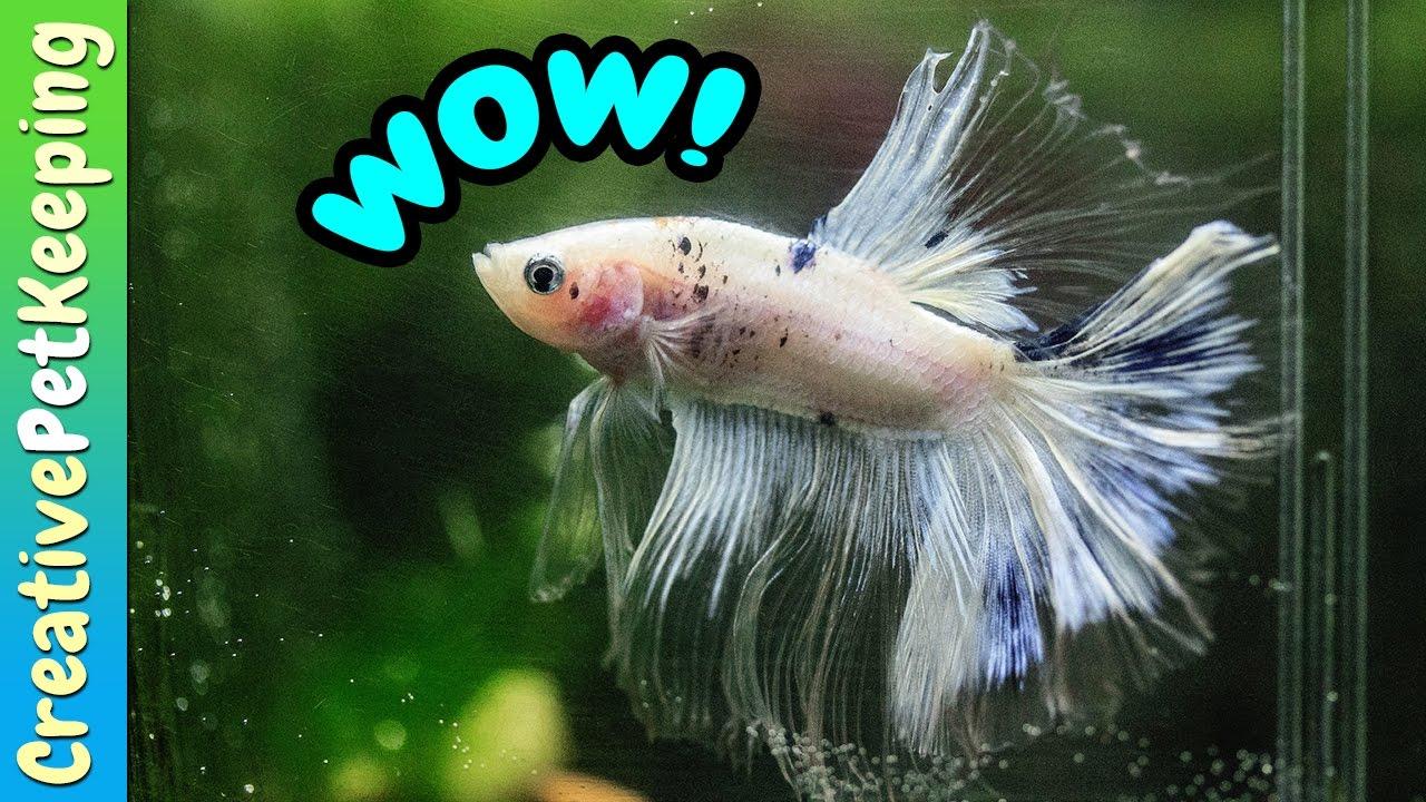 Cellophane Marble Halfmoon Iridescent Male Betta Fish