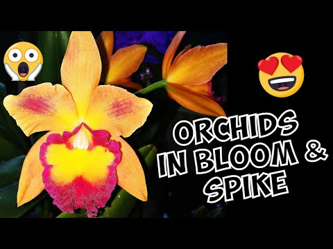 orchids-in-bloom-&-in-spike---october-2018