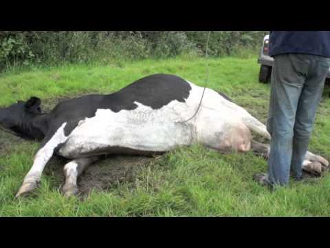 cow with milk fever  big calf  doovi