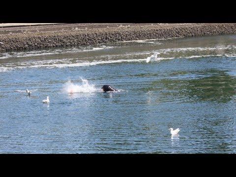 Sea Lion Eating Salmon at Ballard Locks