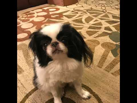Japanese Chin dog PSA for other dogs