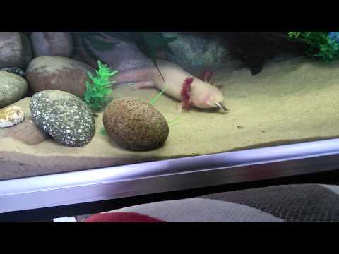 Axolotl Eats Fish Whole!