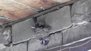 видео Как ласточки делают гнездо на моём окне